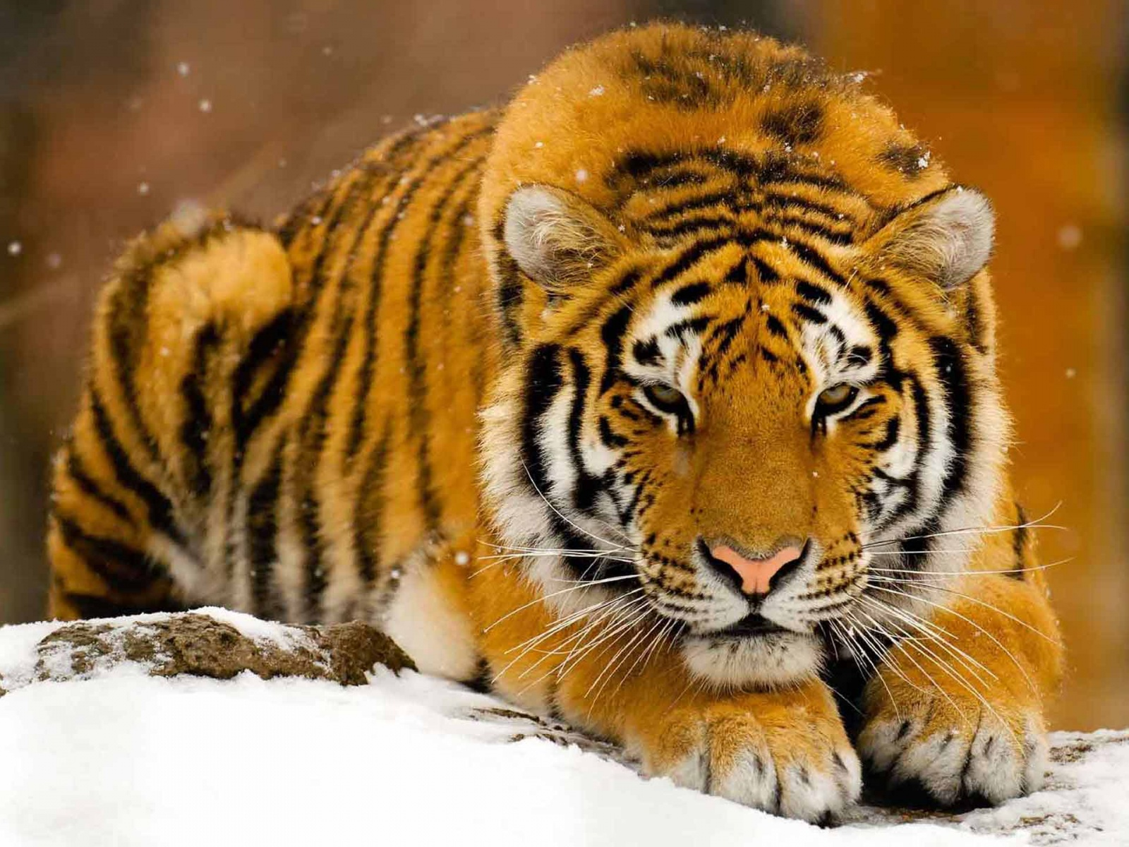 The best top desktop tiger wallpapers hd tiger wallpaper 21jpg 1600x1200