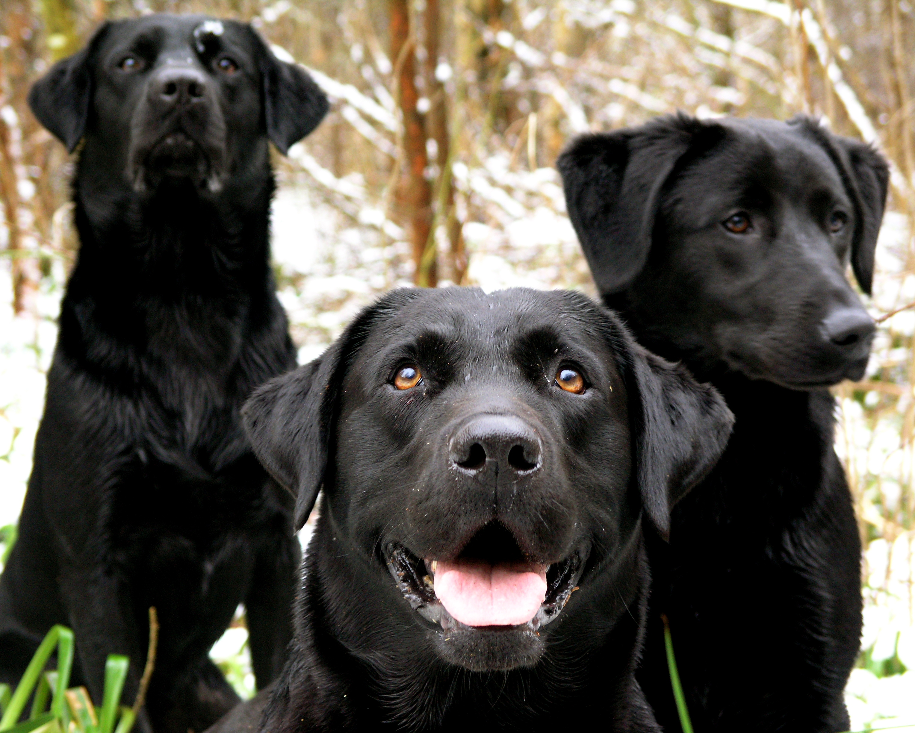 43+] Black Labrador Retriever Wallpaper on WallpaperSafari
