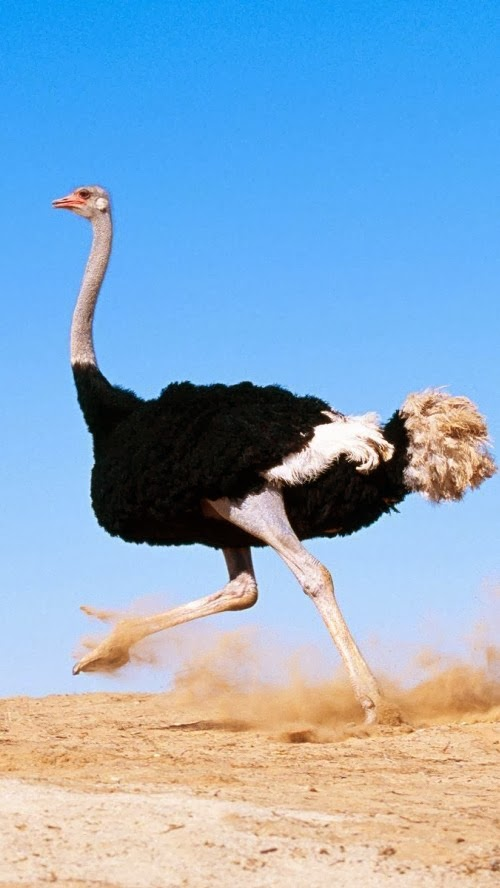 Ostrich Running Fast HQ Wallpaper for Iphone iPhone Wallpapers Site 500x888