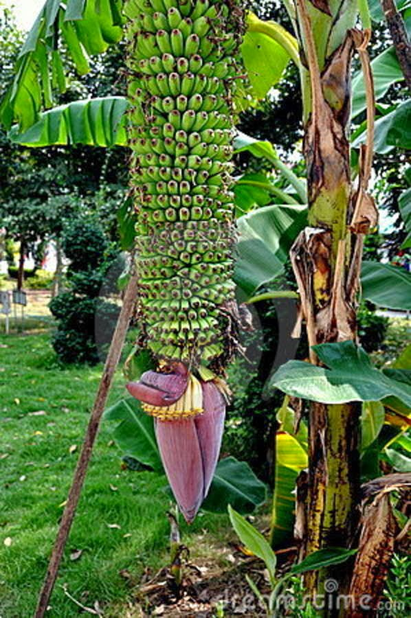 banana tree hd wallpapers banana tree images trees images 598x900