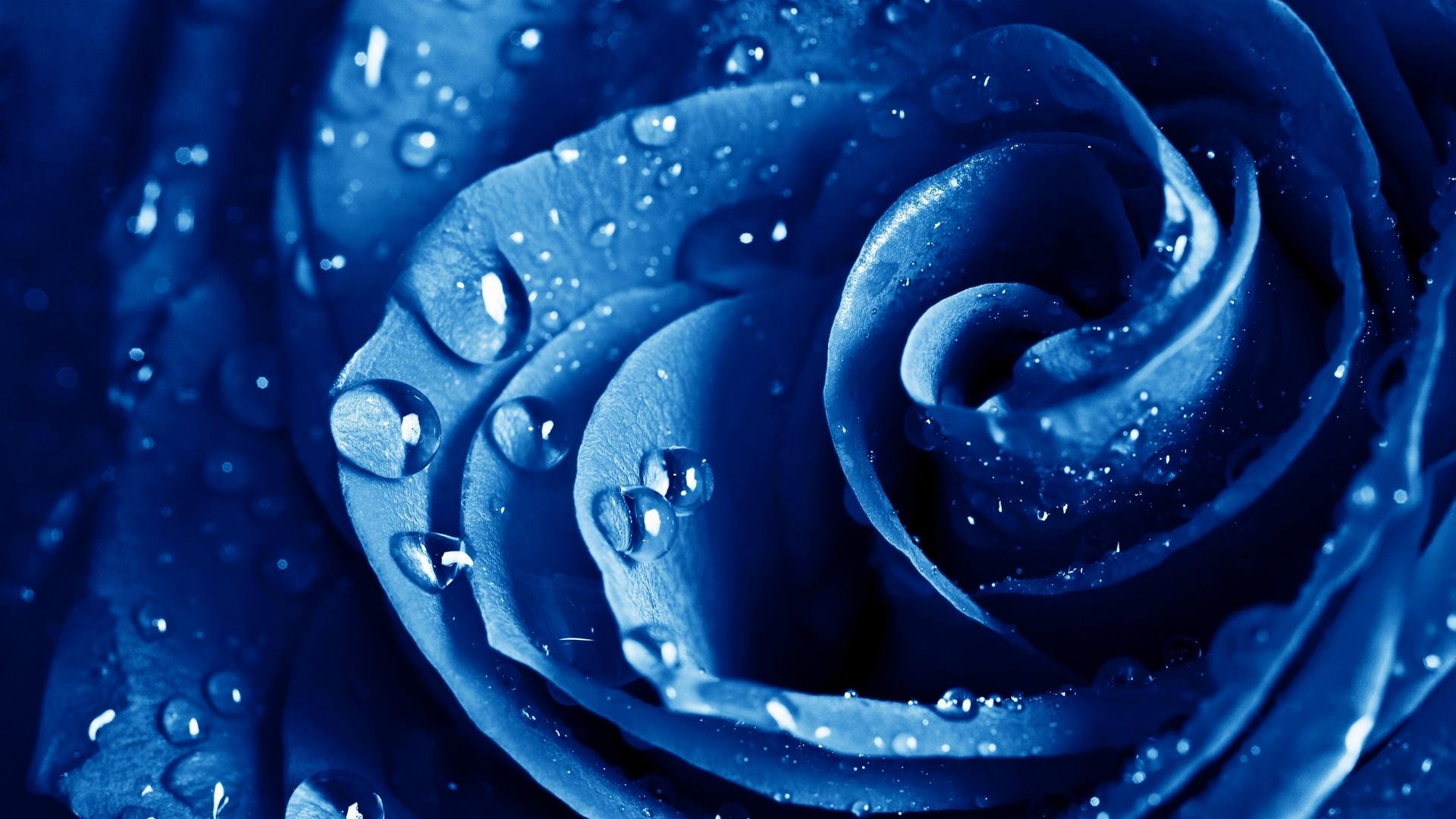 HD Fonds dcran macro rose bleu La rose bleue des fleurs photo 1920x1080