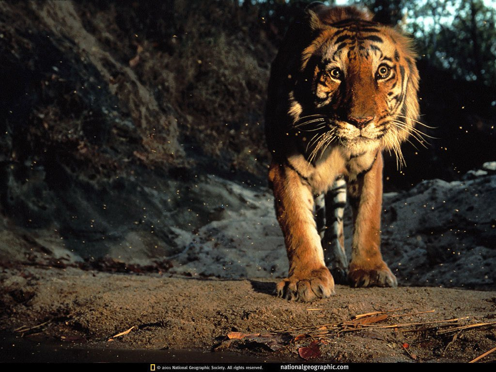 Tiger Wallpaper Widescreen 10678 Hd Wallpapers In Animals Imagesci 1024x768