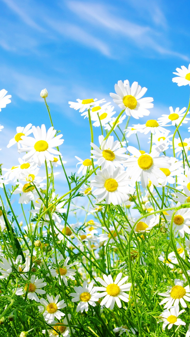 Daisies Flowers IPhone 5s Wallpaper Download Wallpapers IPad 640x1136