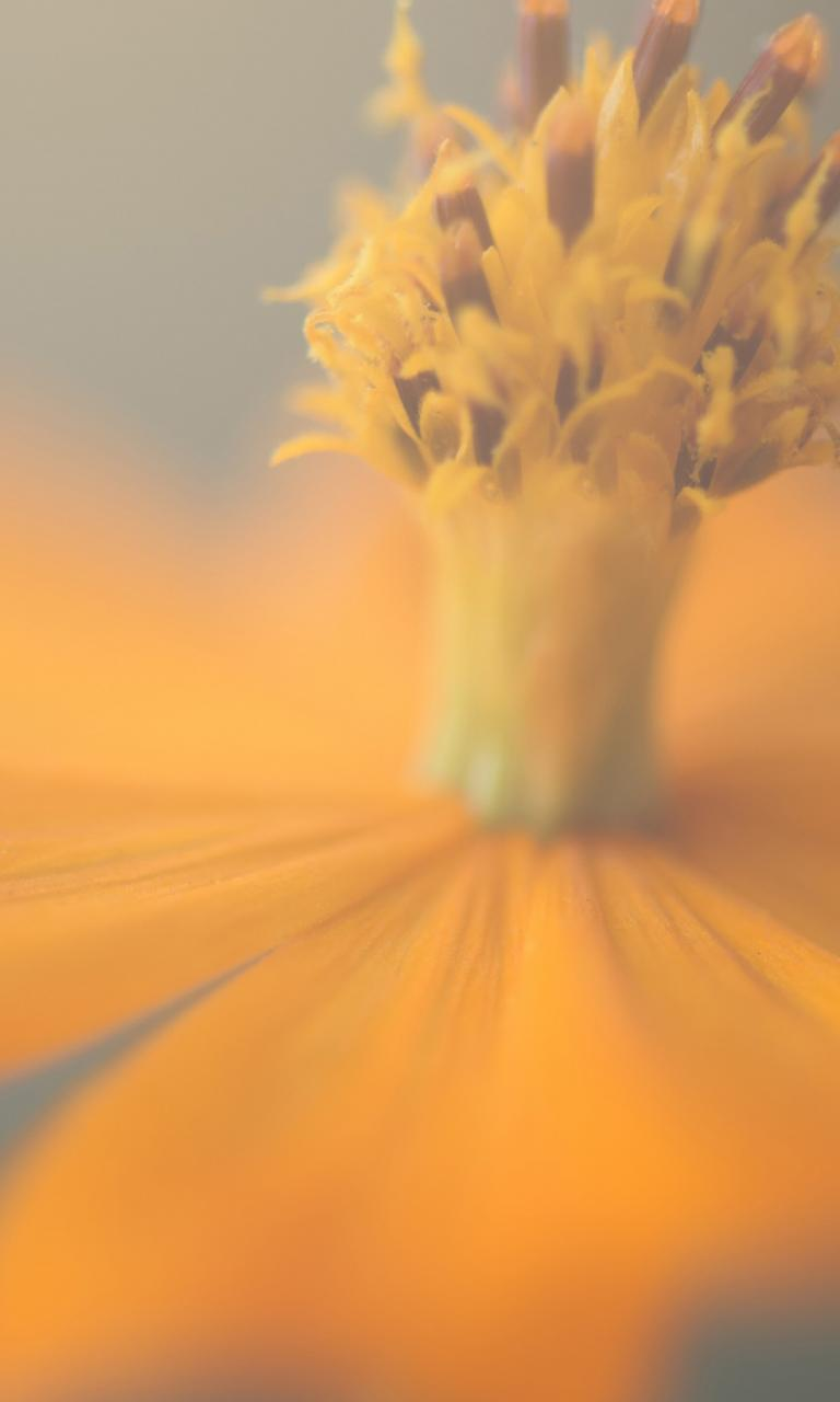 ios 8 orange flower wallpaper wallpaper details 768x1280