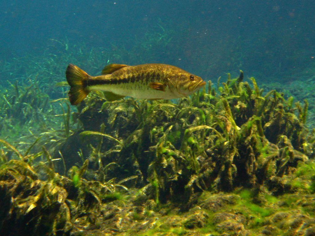 Largemouth Bass Wallpapers 1024x768
