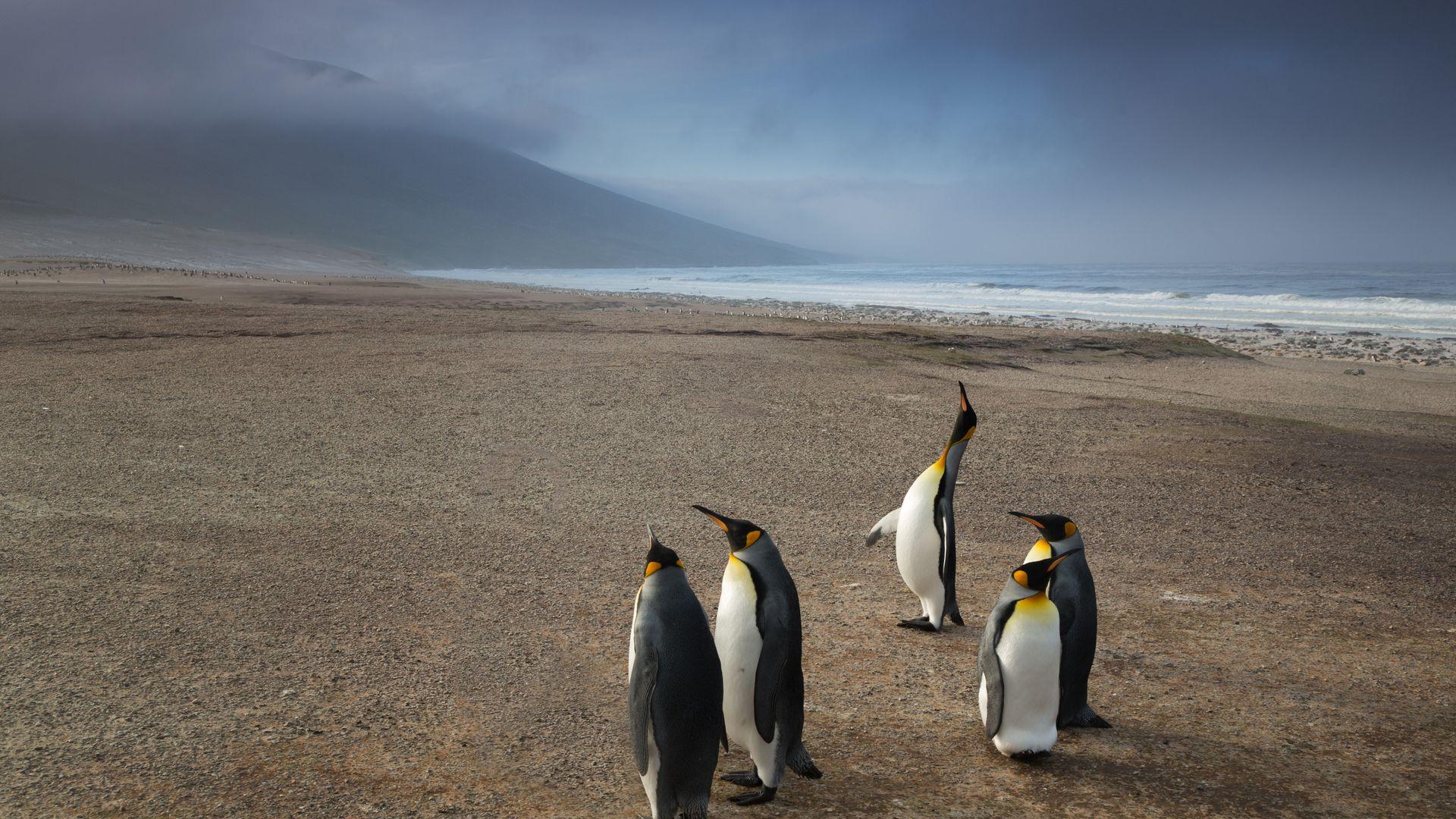 King Penguins Beach Evening View Wallpaper   Wallpaper Stream 1920x1080
