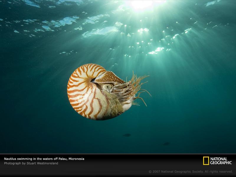 swimming nautilus wallpaper   ForWallpapercom 800x600