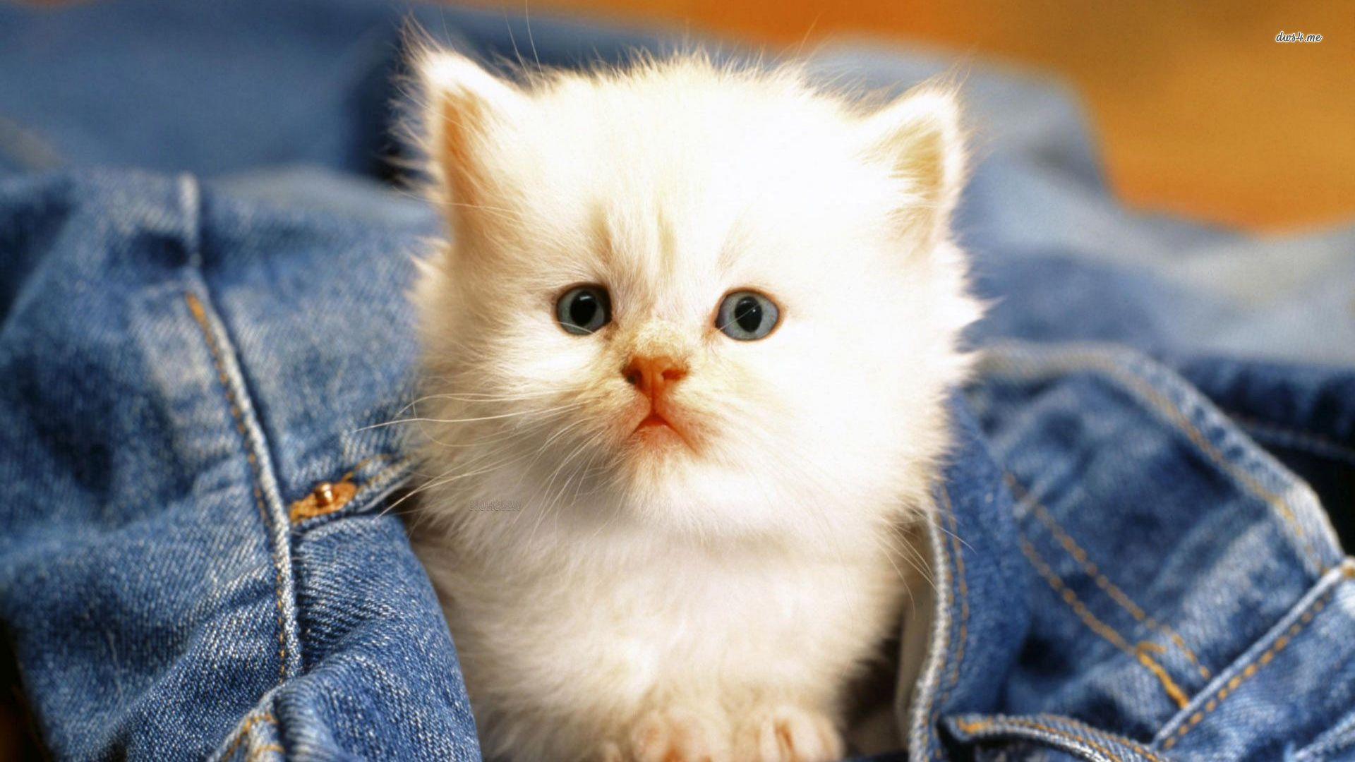 Cute White Cat Wallpaper Animal Wallpapers 27935 Litle Pups 1920x1080