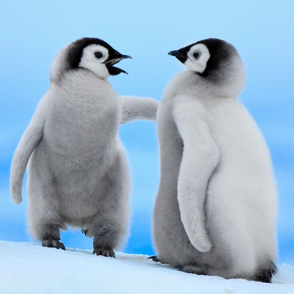 pictures of baby penguins funny Baby Penguins Wallpaper Download 1024x1024