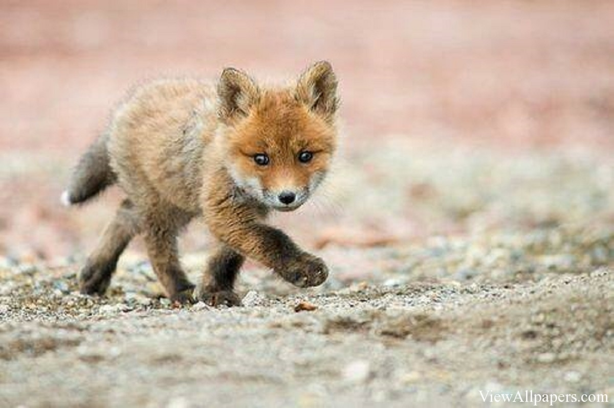 Baby Fox Walking For PC computers desktop background smartphones 1200x799