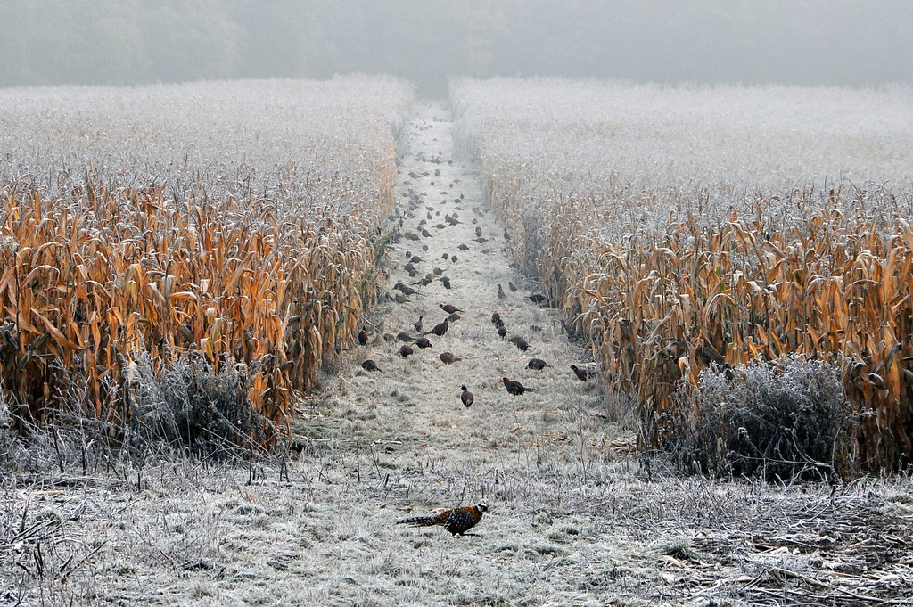 Free Download Go Back Gallery For Pheasants Forever