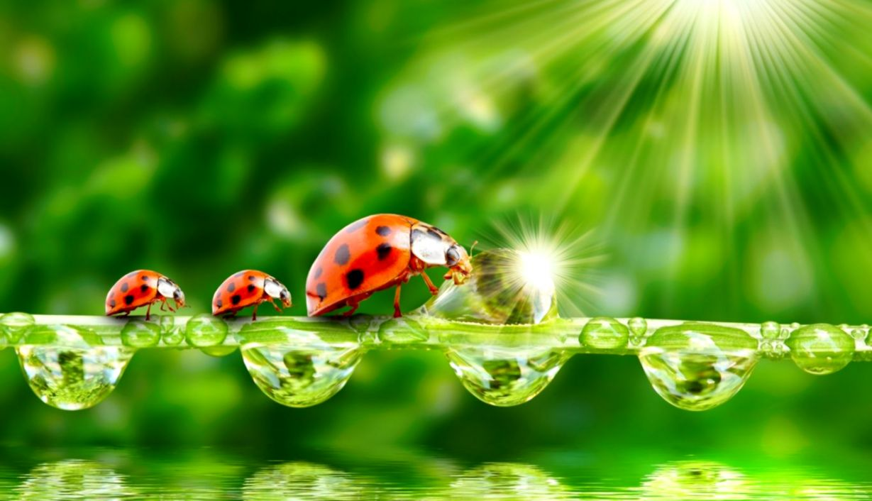 Ladybugs Hd Wallpaper Wallpapers Power 1229x706
