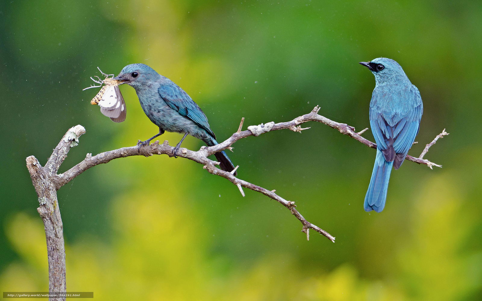 Download wallpaper blue Birds catch butterfly desktop 1600x1000