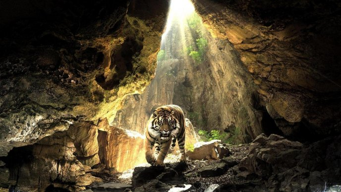 Download Wallpaper A big tiger in a cave   Wild animal wallpaper 688x387