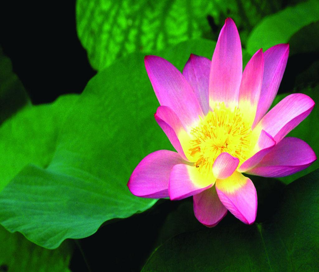 Free Ppt Backgrounds Desktop Wallpaper Flower Pink Lotus: Pink Lotus Flower Wallpaper