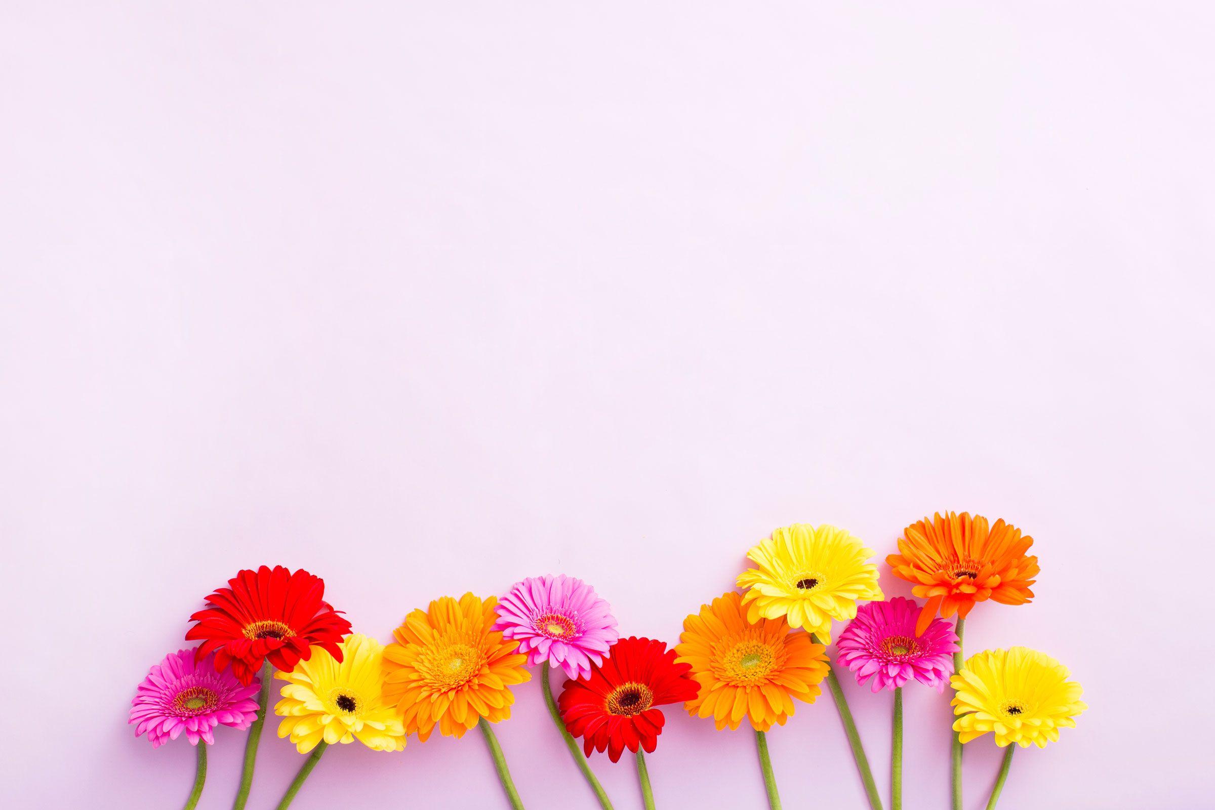 Free Download Blush Pink Yellow Floral Gerbera Desktop Wallpaper