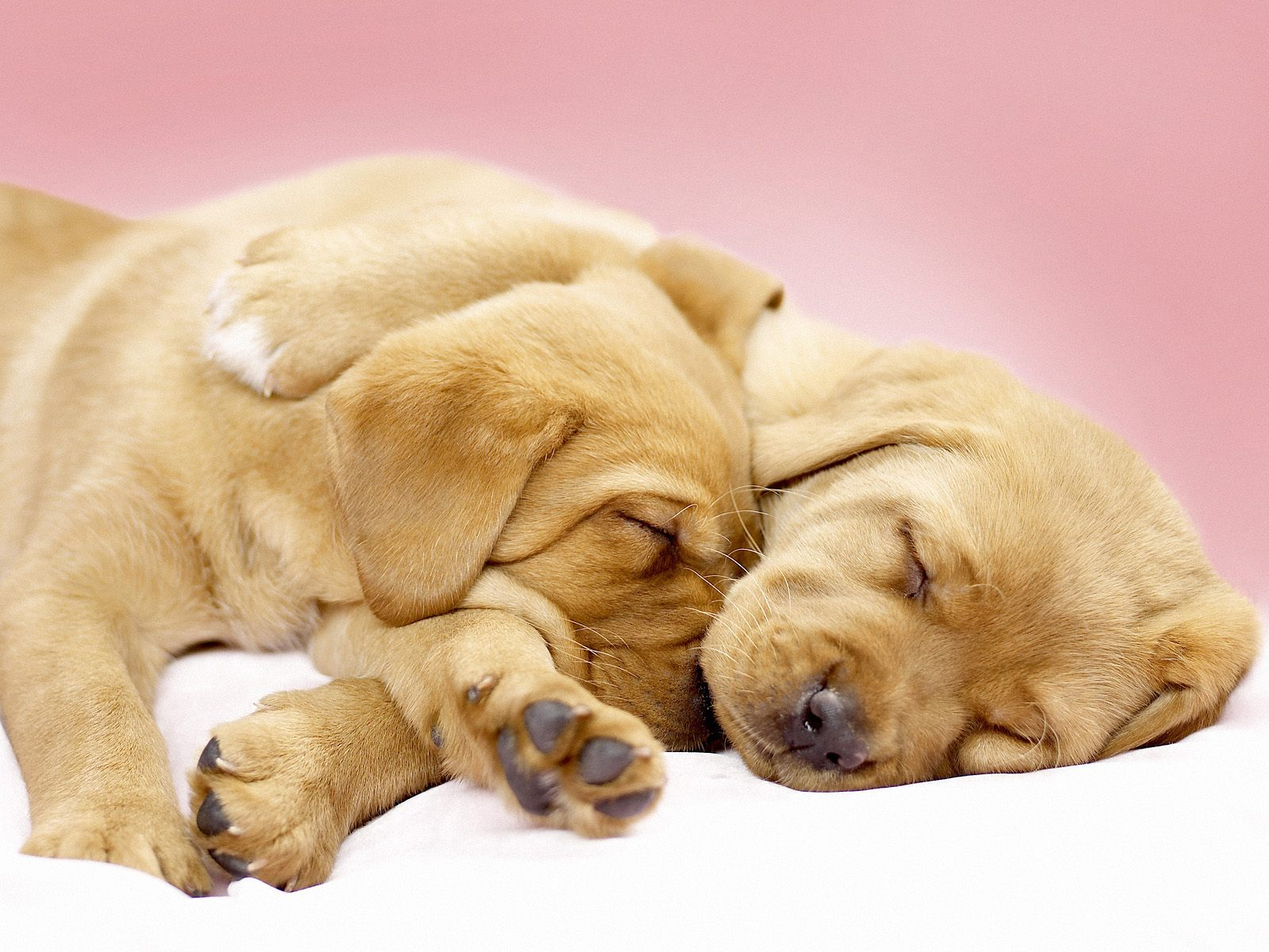 Sleep Together Dog Wallpapers Backgrounds Dogs 1600x1200