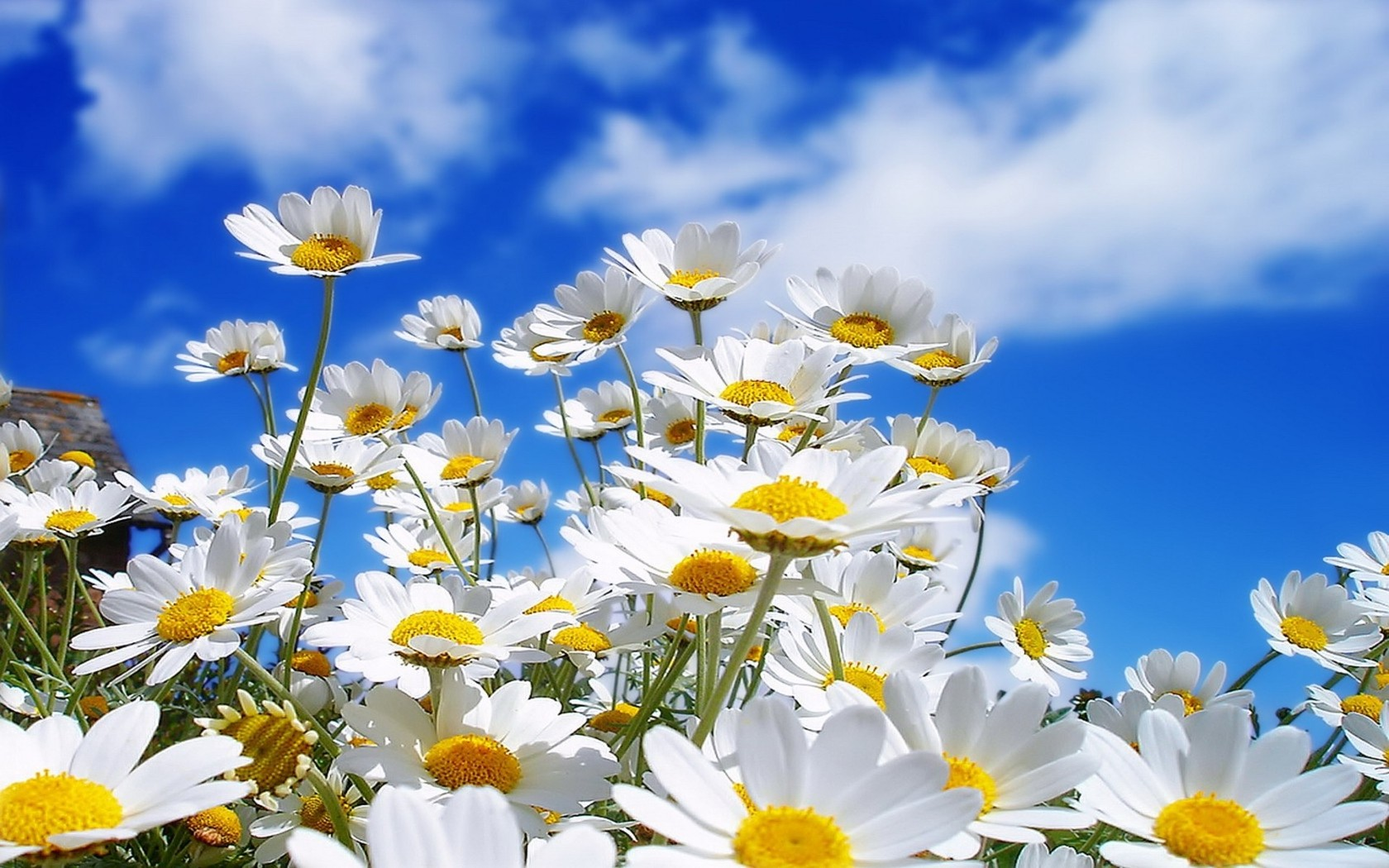 Image gallery for daisies wallpaper   Clip Art Library 1680x1050