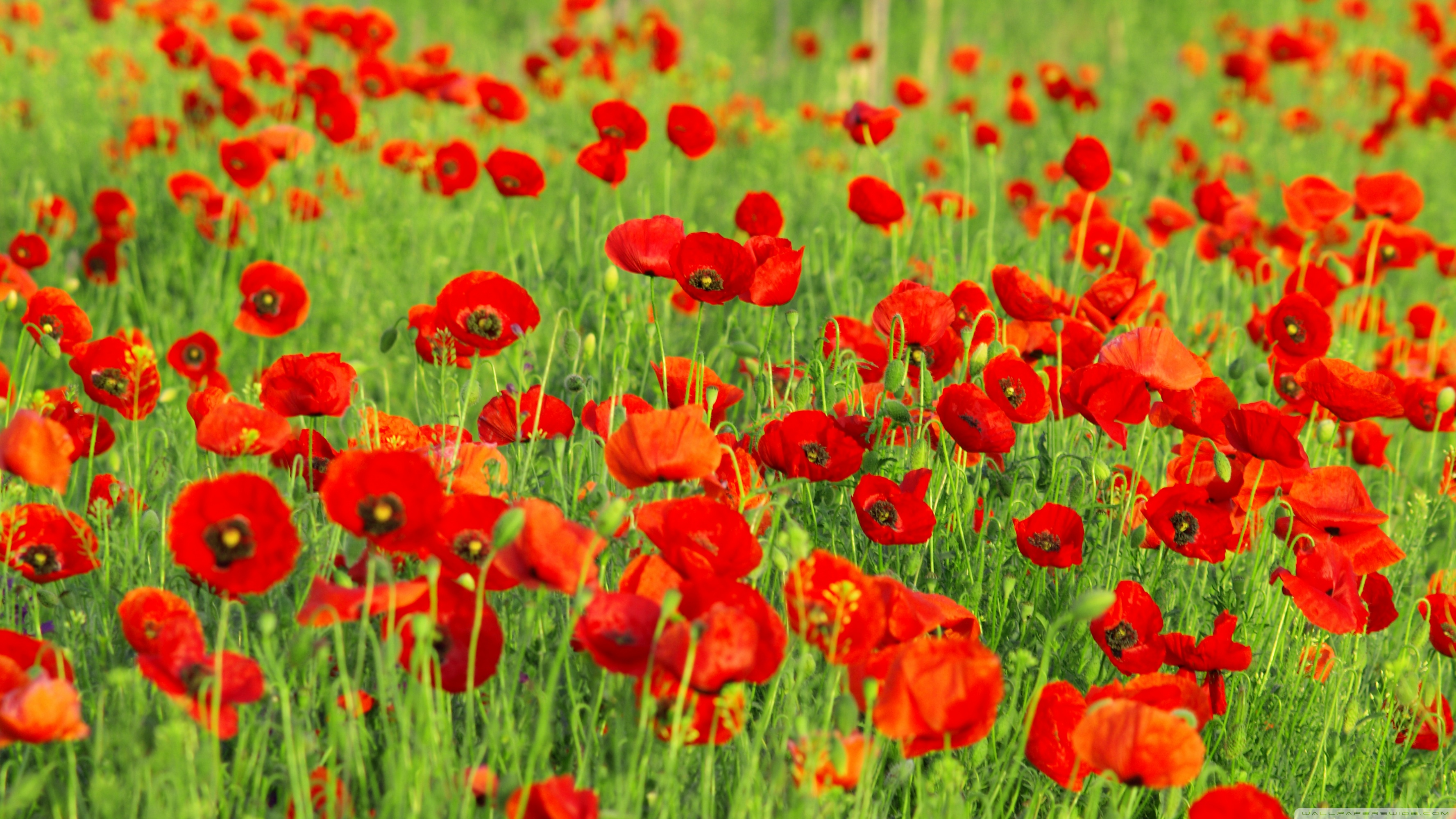 Red poppies field wallpapers and images   wallpapers pictures photos 3554x1999