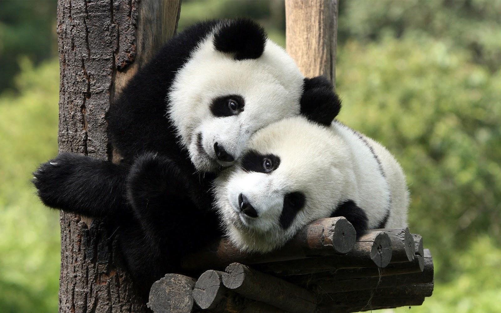 animal wallpaper of two panda bears in a tree Panda bear wallpaper 1600x1000