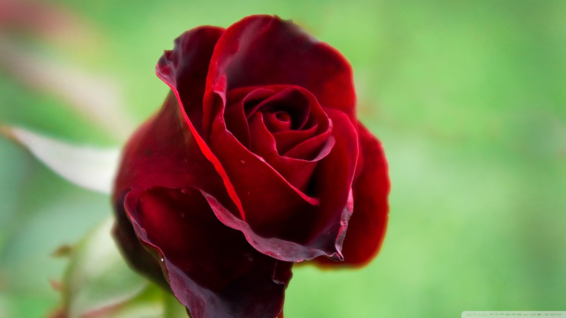 Beautiful Rose Wallpapers Hd Wallpapersafari