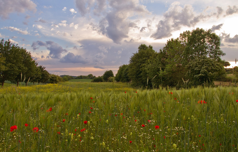Wallpaper field summer trees glade rye Maki ears rye images 1332x850
