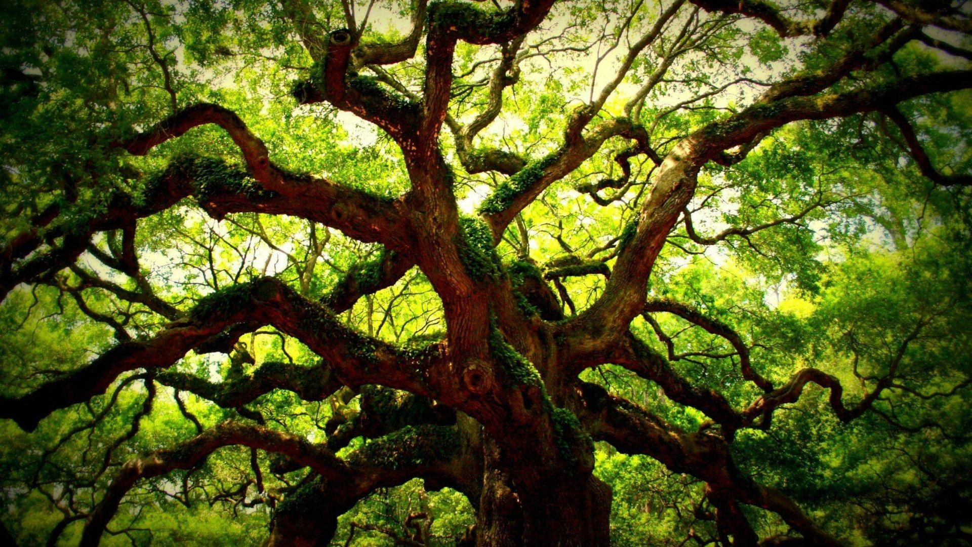 Angel Oak Tree Wallpapers and Background Images   stmednet 1920x1080