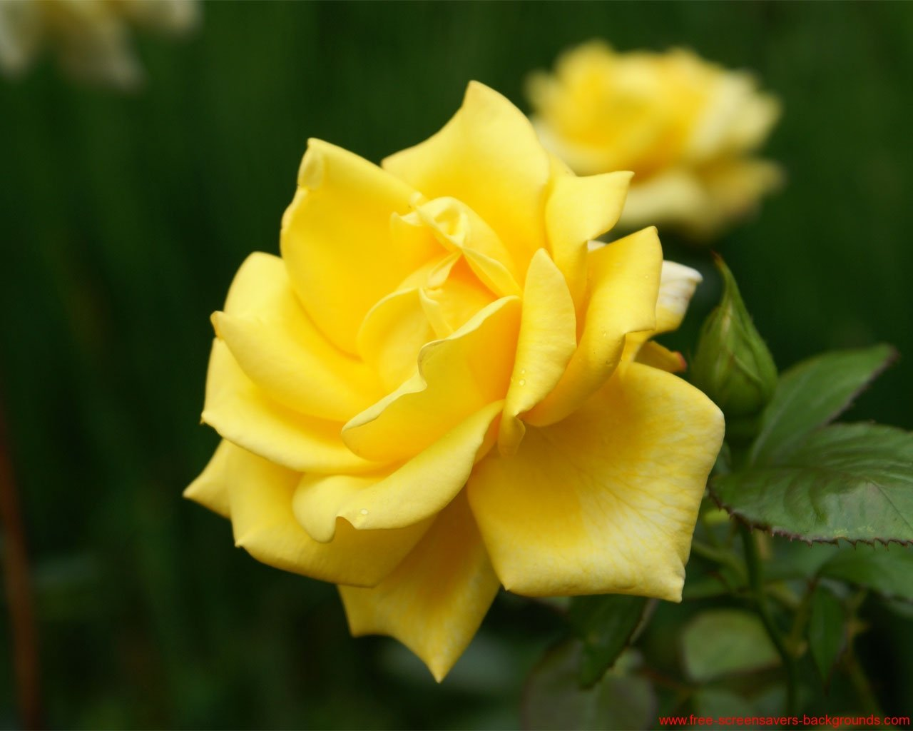 [49+] Screensavers And Wallpaper Yellow Roses On