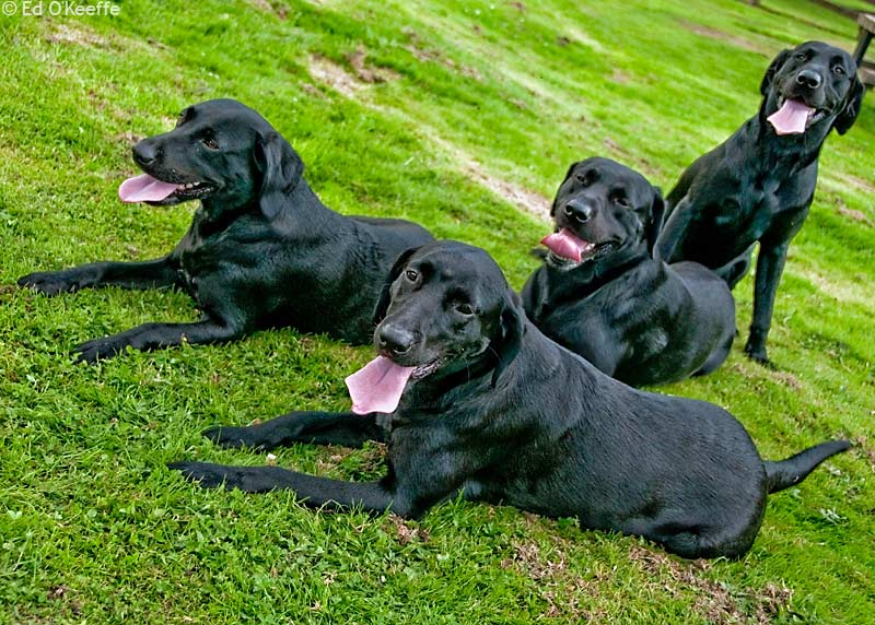 Wallpapers black lab dogs wallpapers 800x572