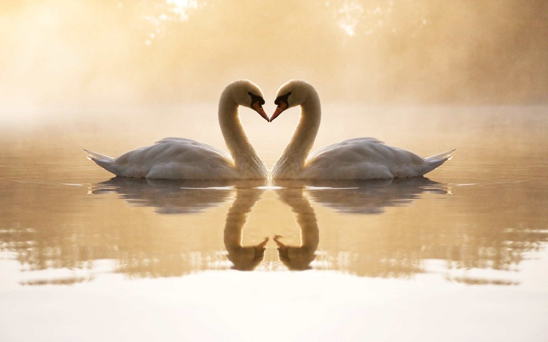 Loving Swans Wallpapers HD Wallpapers 1920x1200
