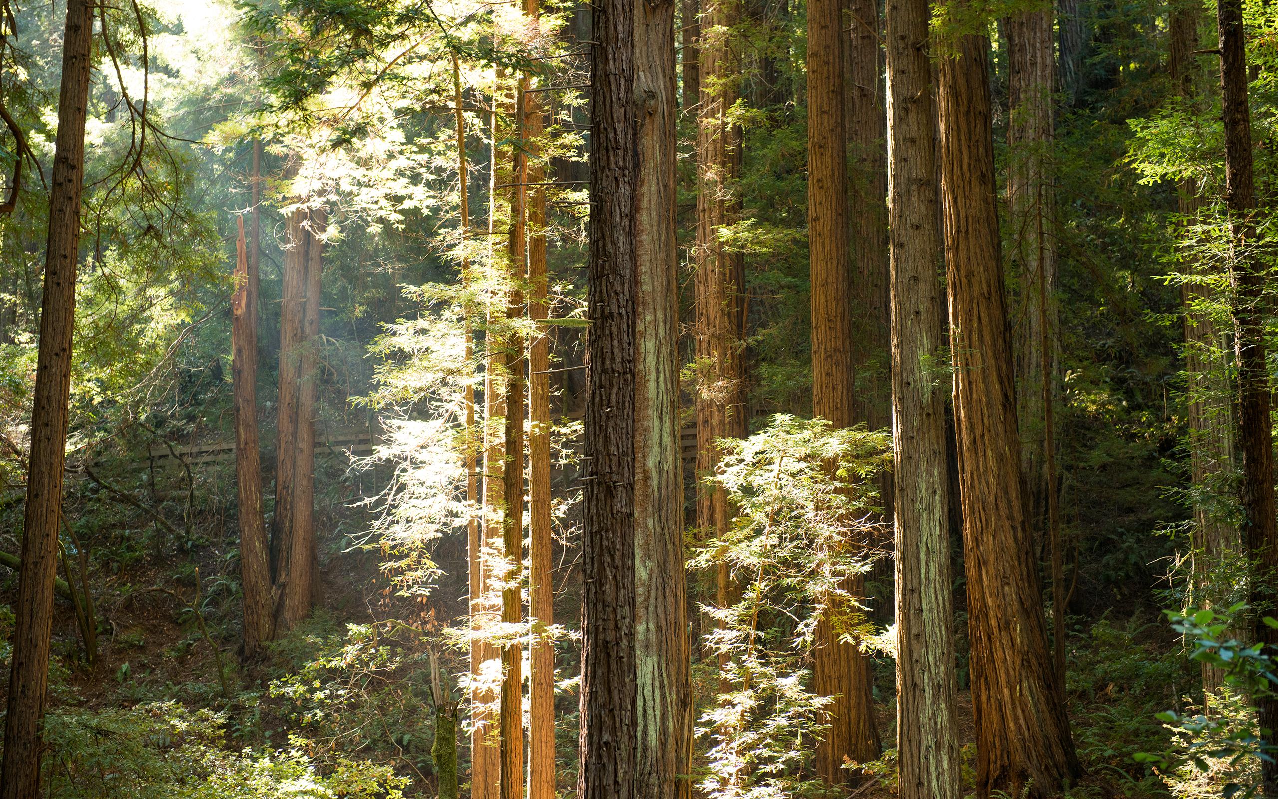 34 Redwood Forest Hd Wallpaper On Wallpapersafari
