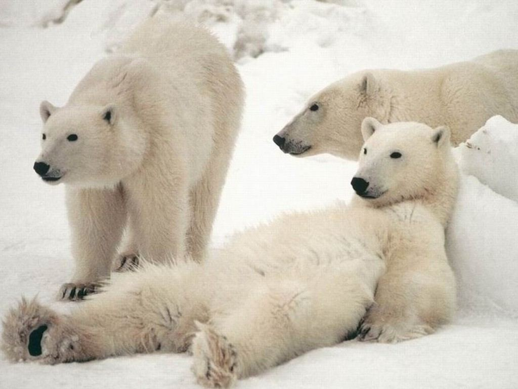 Polar Bears Desktop Wallpaper PC Android iPhone and iPad Wallpapers 1024x768