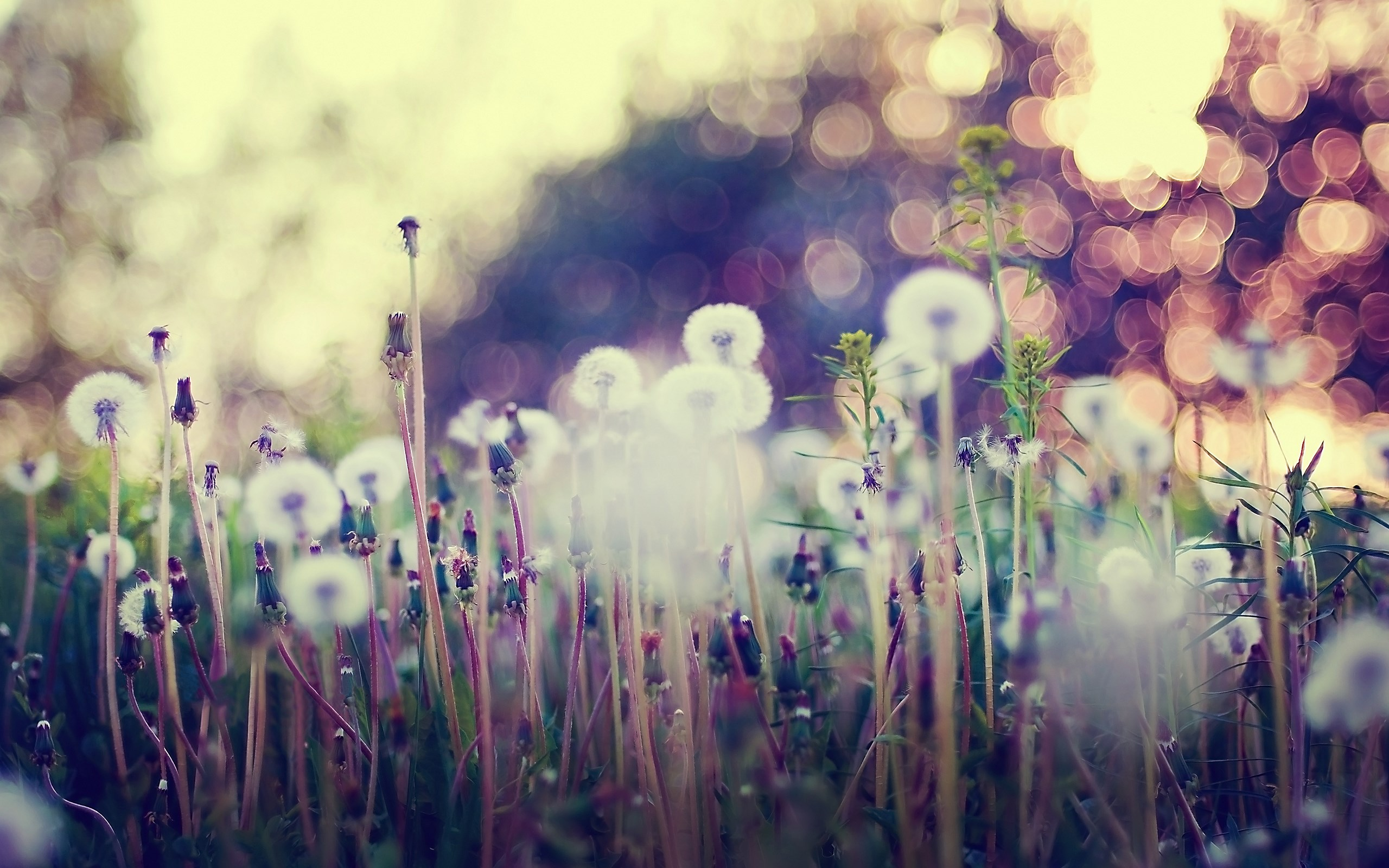 dandelions bokeh lights plant grass photo nature hd wallpaper 2560x1600