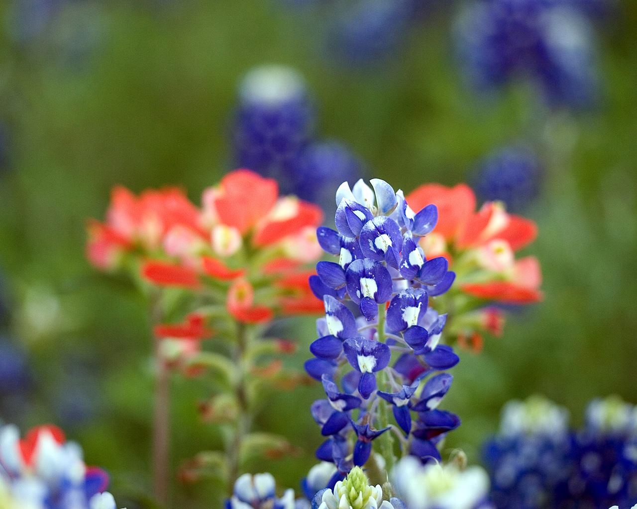 48 Bluebonnet Wallpaper Wildflowers On Wallpapersafari