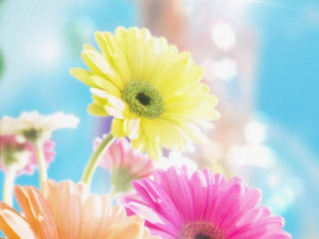 flowers for flower lovers Daisy flowers HD desktop wallpapers 640x480
