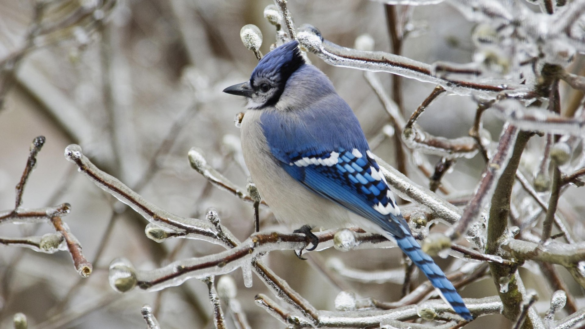 Wallpapers cataloguecom   Blue Jay Bird in 1920x1080 resolution 1920x1080