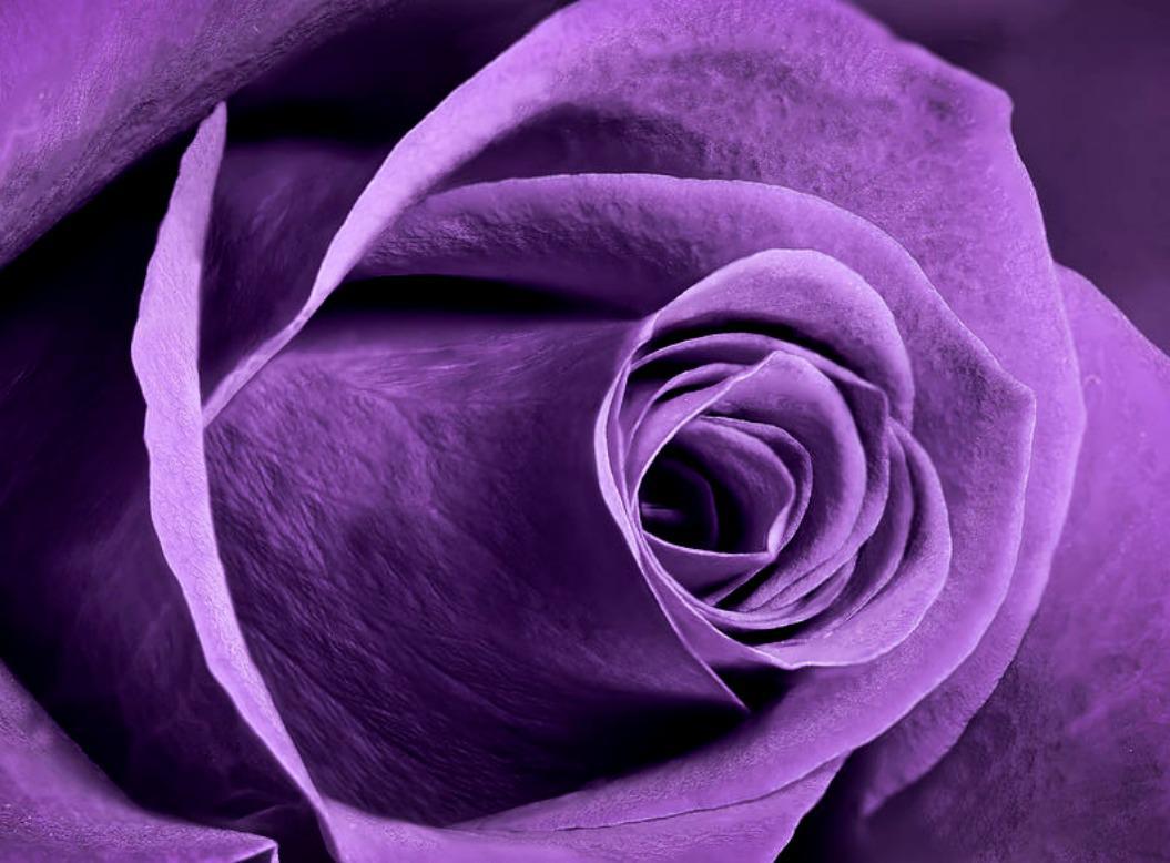 violet rose wallpaper wallpapersafari