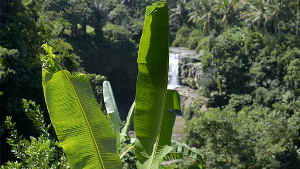 Banana Palm with Waterfall Background   Stock Footage VideoHive 590x332