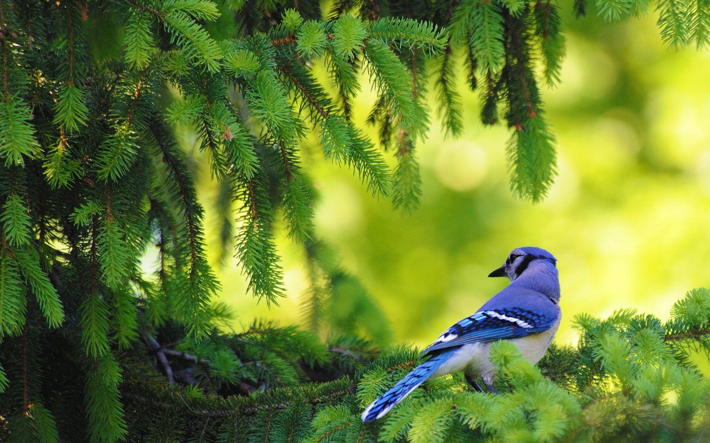 Download Blue Bird Wallpaper in 1440x900 resolutions for Desktop 1440x900