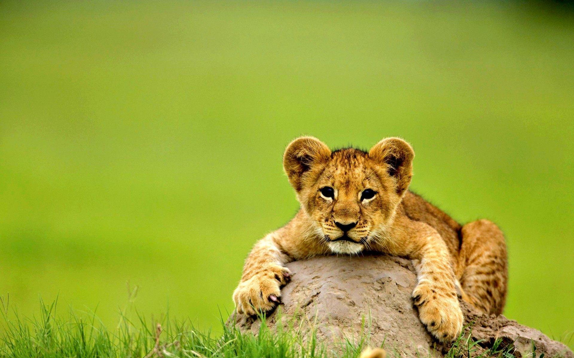 Cute lion baby animal wallpaper HD Wallpapers Rocks
