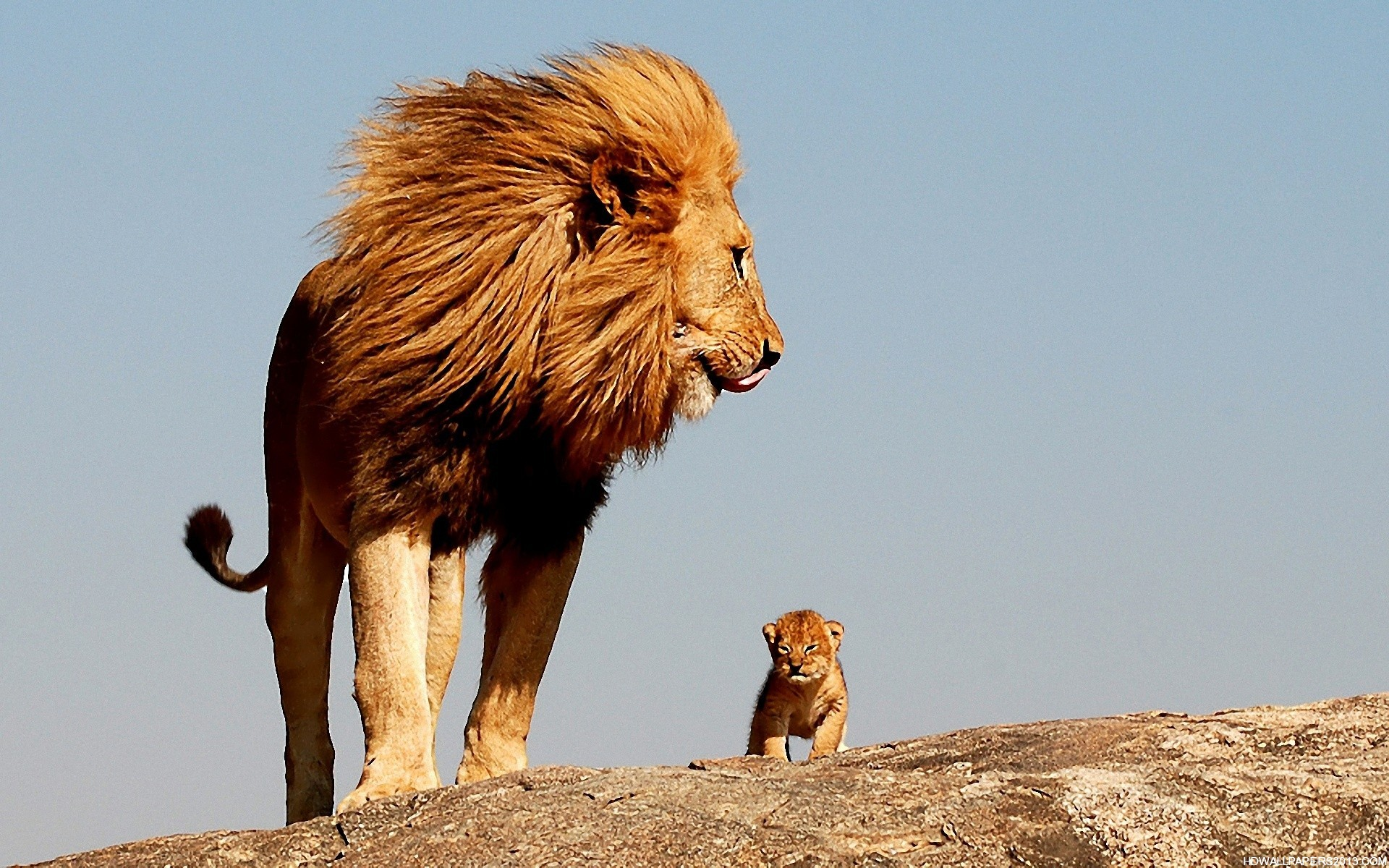 Cool Lion Wallpapers Hd Wallpapersafari