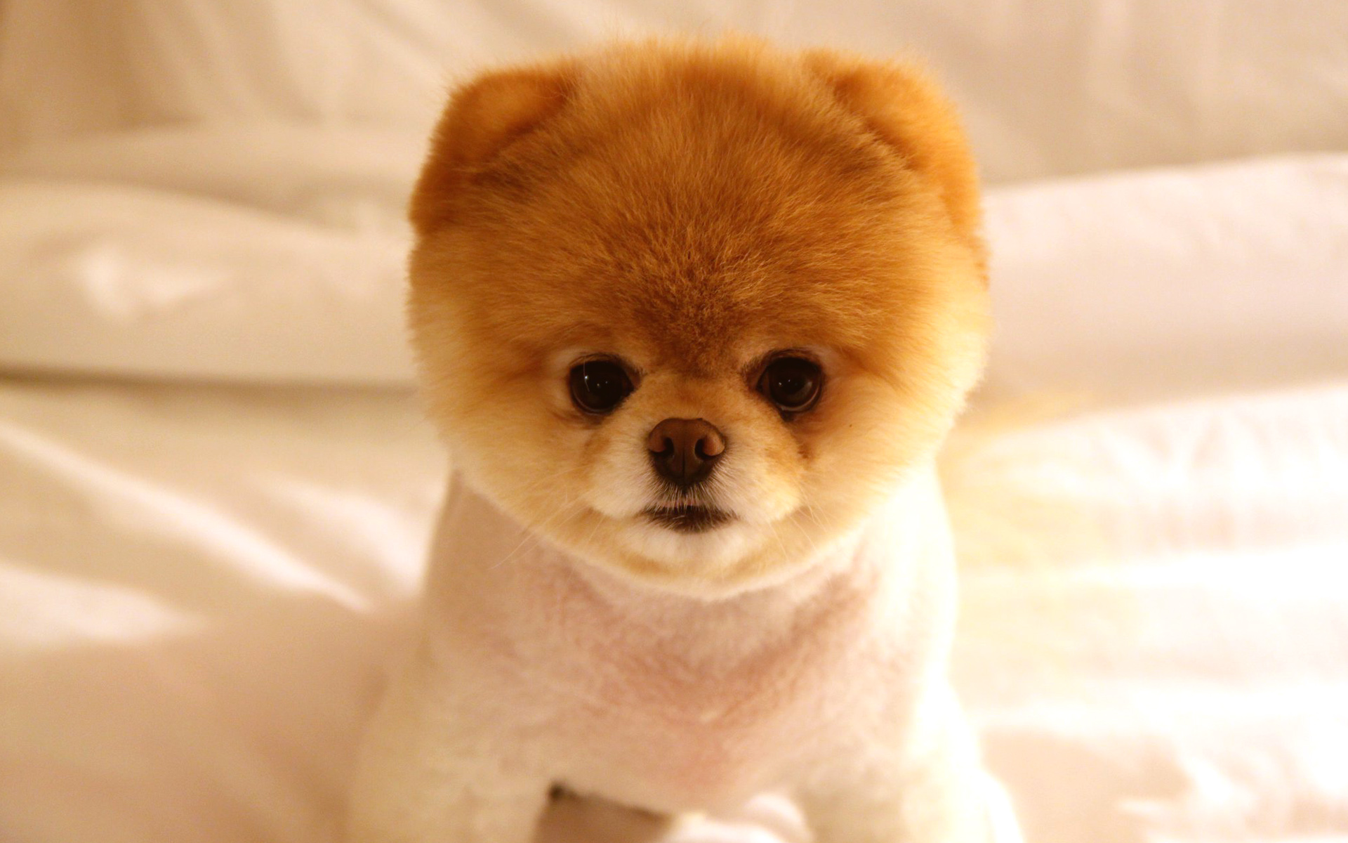 Cute Dog Boo Wallpapers HD Wallpapers 1920x1200