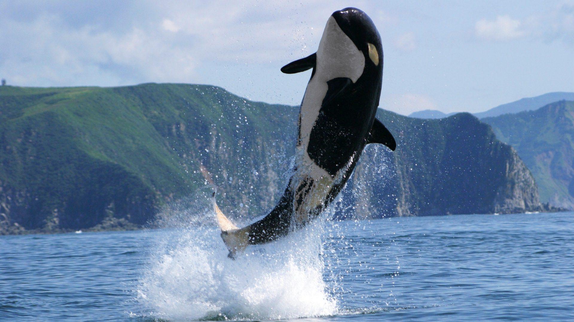 Pics Photos   Whale Wallpaper Animal Wallpapers Killer 1920x1080