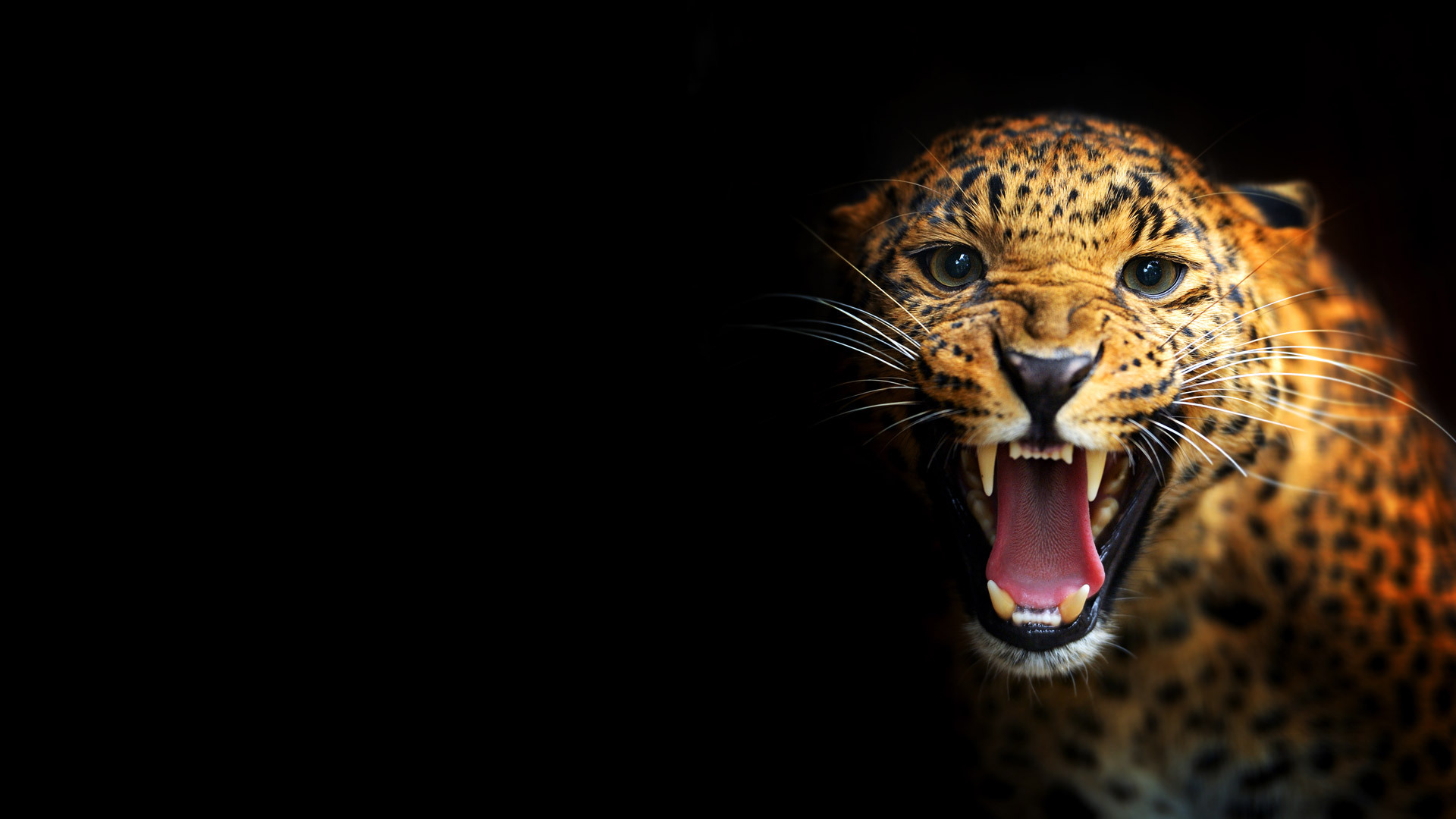 Leopard on a black background wallpapers and images 1920x1080