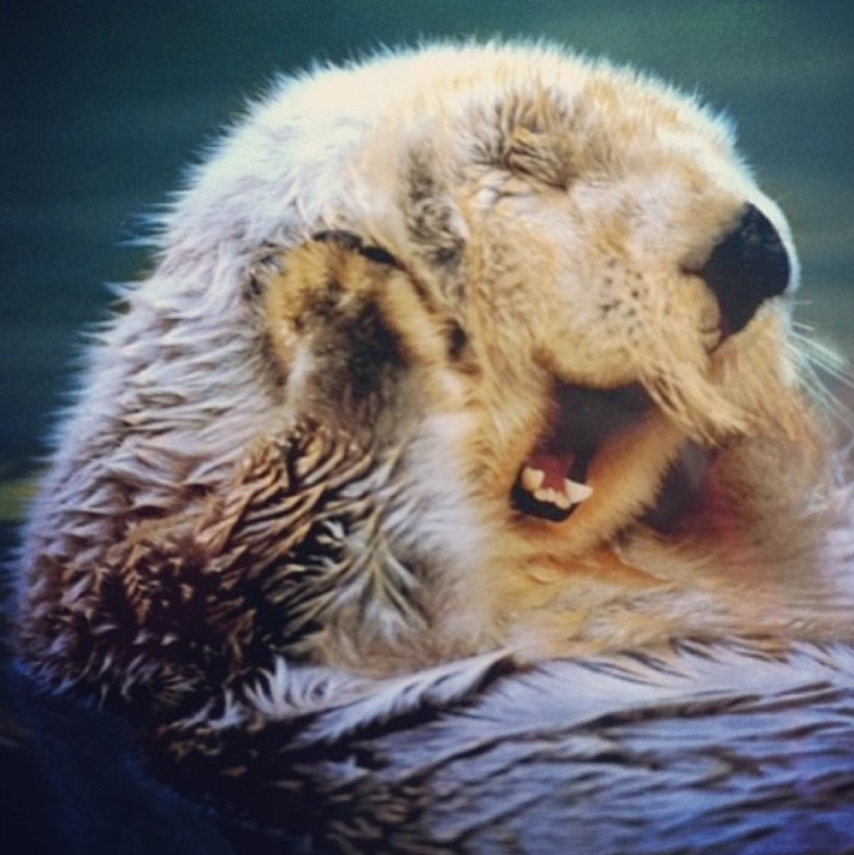 Cute Sea Otter Sea otter yawning this is too 1207x1209