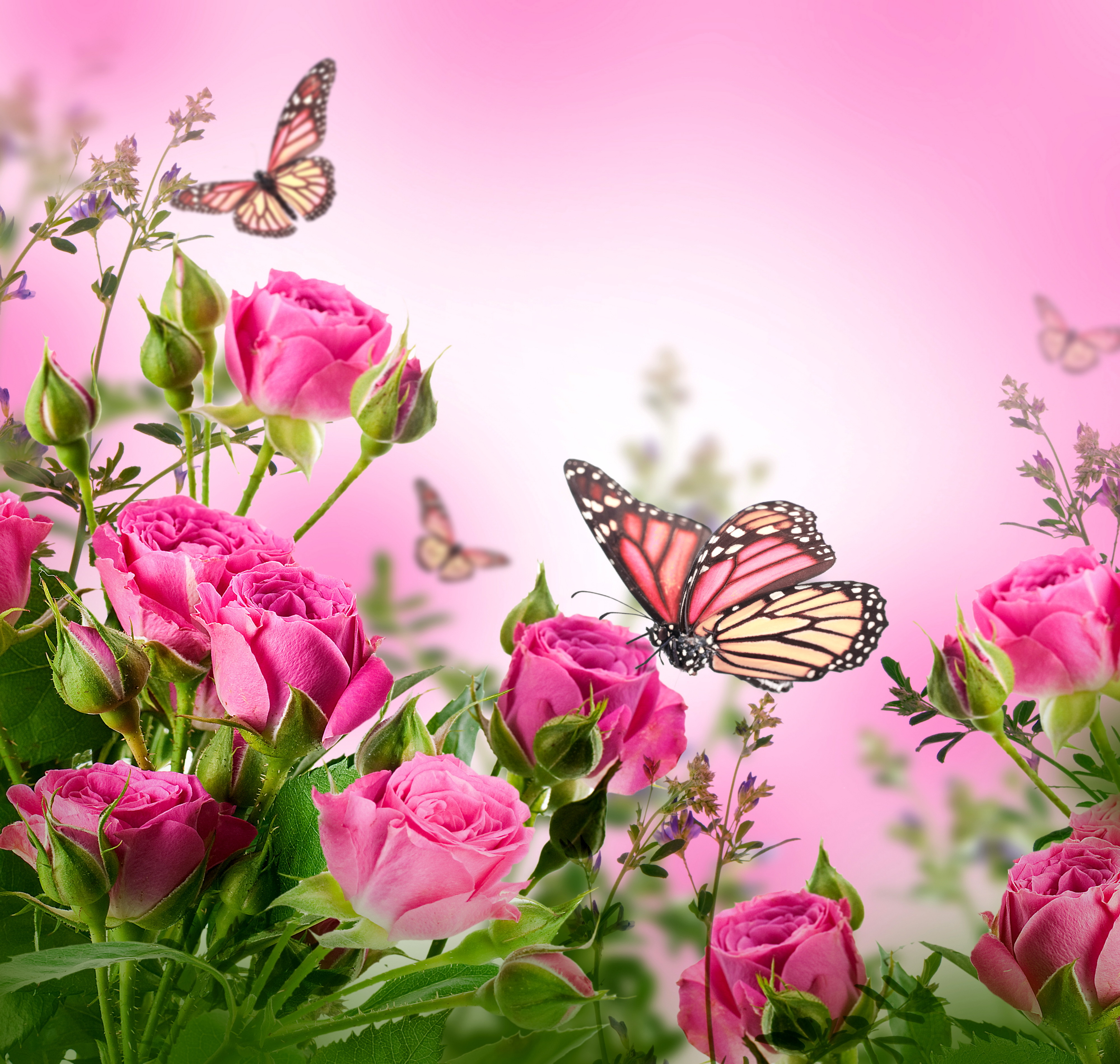 butterflies blossom beautiful flowers roses wallpapers flowers 4000x3800