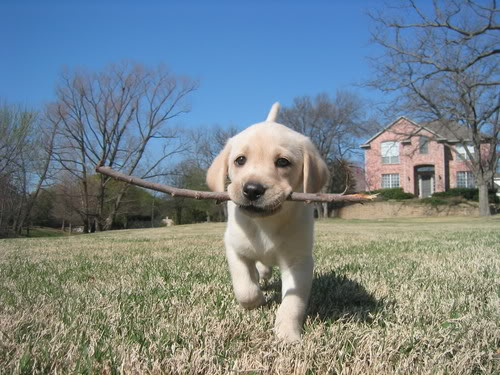 cute yellow labrador puppy cute and cuddly lab puppy 500x375