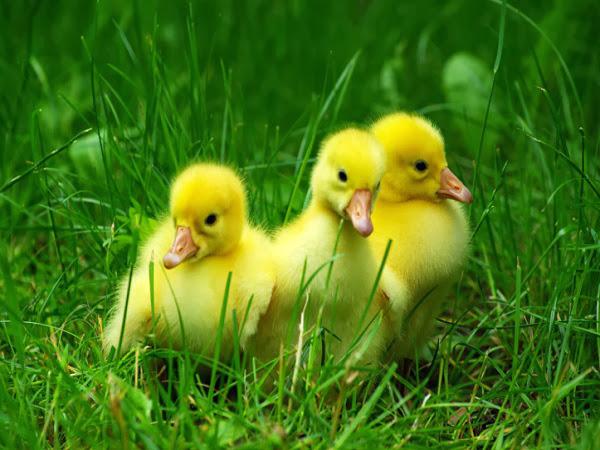 Baby Ducks Wallpaper - WallpaperSafari