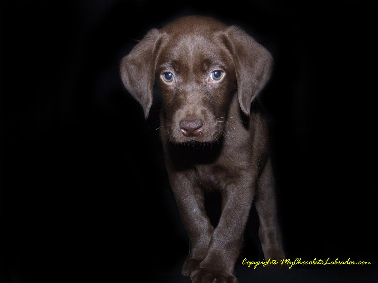Chocolate Lab Puppy Wallpaper 1280x960