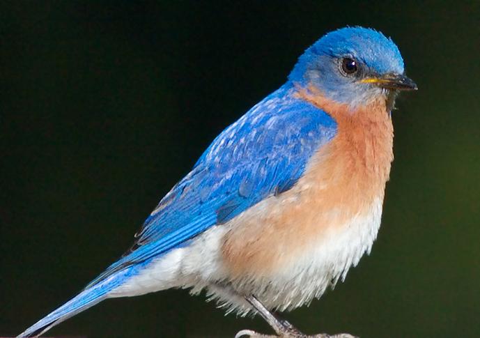 Blue Bird On A Well Flowered Tree Wallpaper Desktop Background To 689x485